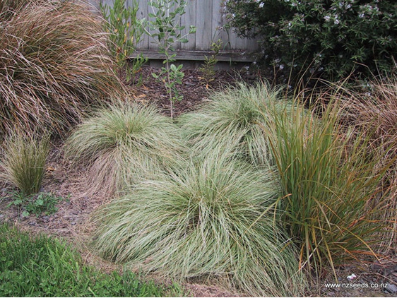 Carex comans var Green