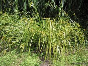 Carex maorica