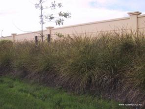 Carex virgata
