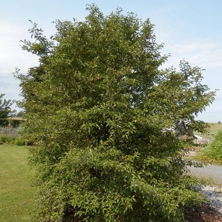 Carpodetus serratus