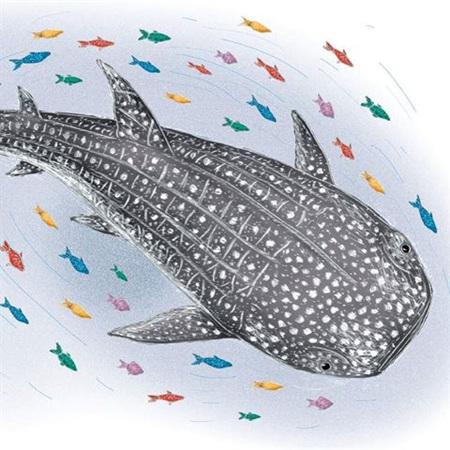 Catherine Rowe Whale Shark Card