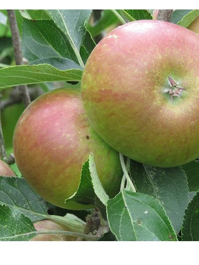 Certified Organic Eating Apple (Posy & Red Gala) - 1Kg