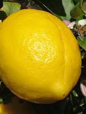 Certified Organic  Lemons - 500g approx.