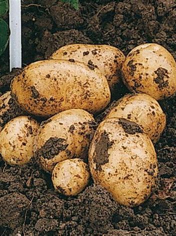 Certified Organic NEW SEASON Potatoes (Agria) - 1Kg