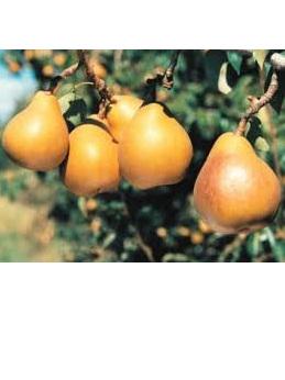 Certified Organic Pears (Eating) - 1Kg