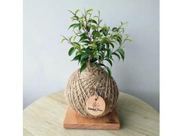 CF Classic Ficus Baby Ben Kokedama