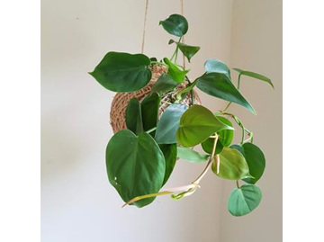 CF Heartleaf Philodendron Kokedama