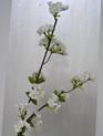 Cherry Blossom 1427