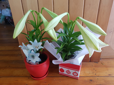 Christmas Lily Plant