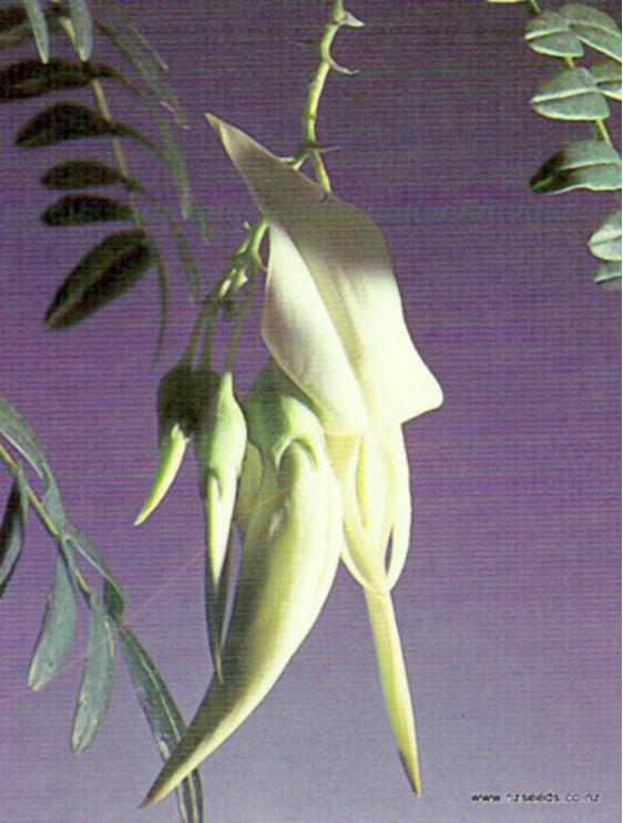 Clianthus puniceus albus