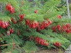 Clianthus puniceus rosea