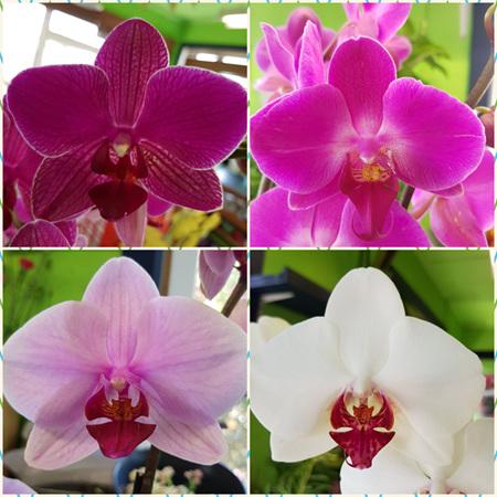 Coloured Phalaenopsis Orchid Plant