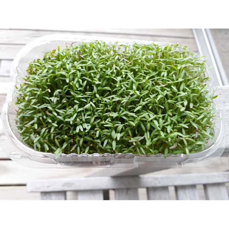 Commonly  sprouted as microgreens to add to your salads for garnish