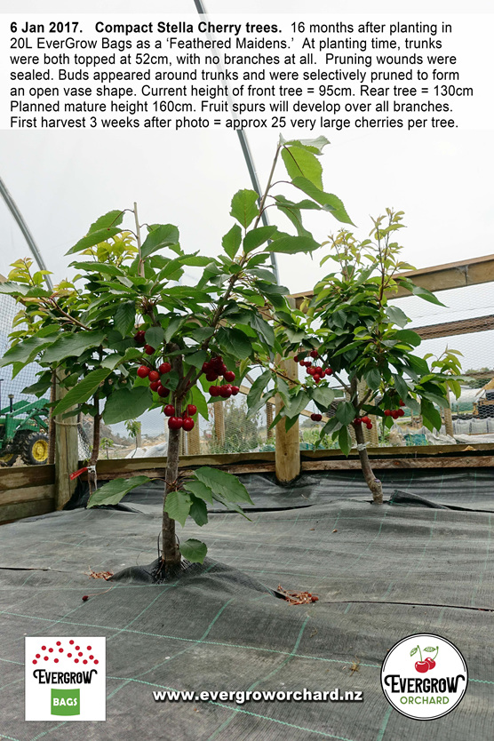 Compact Stella Cherry Trees cropping early in EverGrow Bags