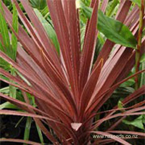 Cordyline australis purpureum