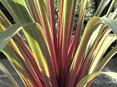 Cordyline australis Sundance