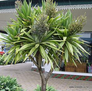 Cordyline kaspar purpureum