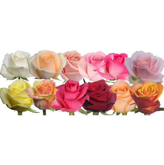 Cut Premium Roses