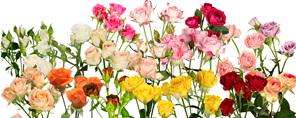 Cut Spray Roses