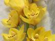 Cymbidium orchid yellow
