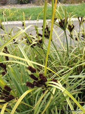 Cyperus ustulatus