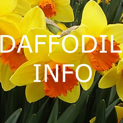 Daffodil Info