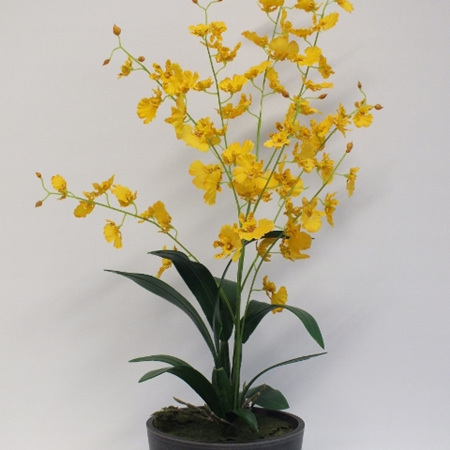 Dancing Lady Orchid 2226