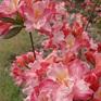 Deciduous Azalea Caroline de Rothschild