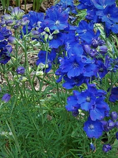Delphinium grandiflora 'Blue Pygmy'