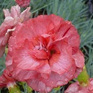 Dianthus Rustic Beauty
