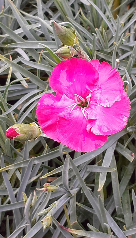 Dianthus 'Crossover'