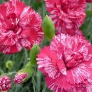 Dianthus Freckly Flake