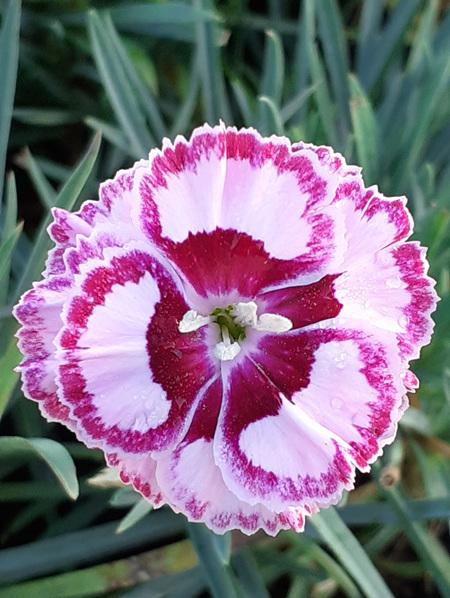 Dianthus 'Windsor'