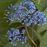 Dichroa Blue Stars