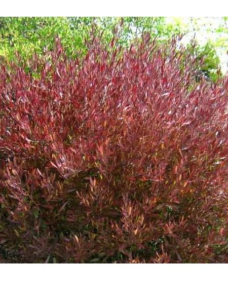 Dodonaea viscosa Purpurea