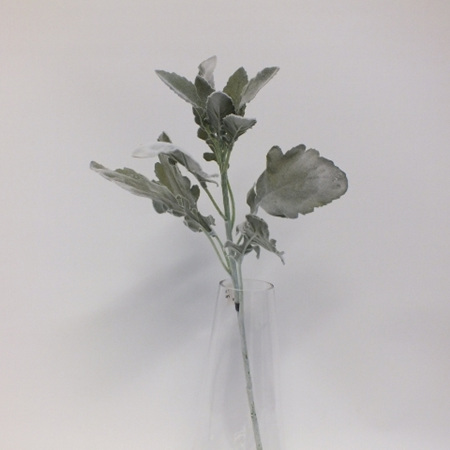 Dusty Miller Tall 4492