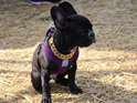 Empire Small Custom Stainless Steel Gold Dog Collar by Big Dog Chains