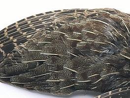 English Grey Partridge Wings