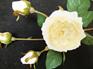 Rose English 1413