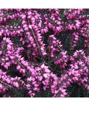 Erica x darleyensis Kramers Red