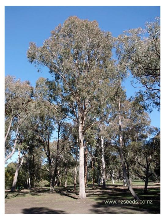 Eucalyptus bosistoana