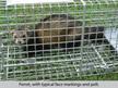 ferret cage trap