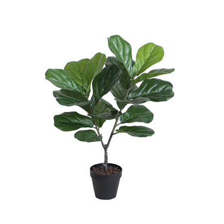 Fiddle Leaf Plant in Black Pot