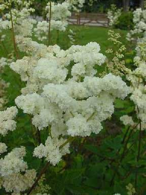 Filipendula ulmaria flore plena