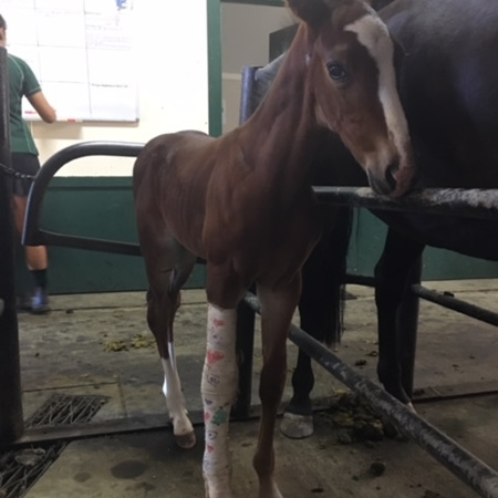 Foal Conformation Assessment