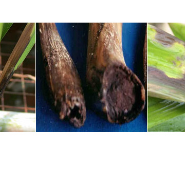 Fungal disease on orchid
