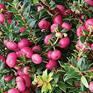Gaultheria mucronata Rubies 'n' Pearls