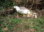 Geese at the macadamia nut farm