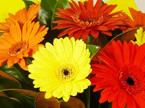 Gerbera Vox Bouquet