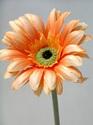 Gerbera wide petal 1116